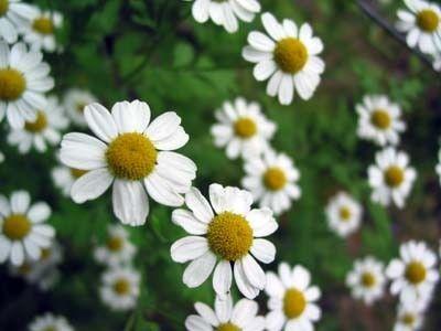matricaria-chamomilla-chamomile_2
